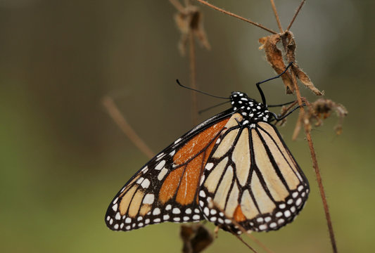 A monarch butterfly is seen at El Rosario sanctuary for monarch butterflies in the western state of Michoacan, near Ocampo