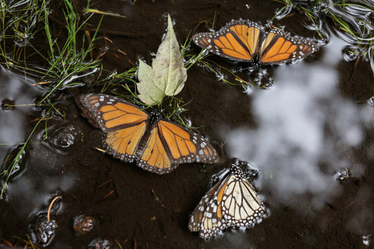 Monarch butterflies are seen in a puddle at El Rosario sanctuary for monarch butterflies in the western state of Michoacan, near Ocampo