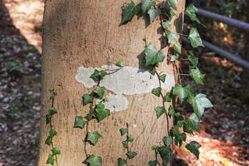木の幹に付いた地衣類と絡みつく木蔦
