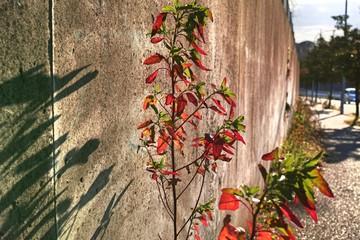コンクリートの道端に生えた草の葉が紅葉していた。