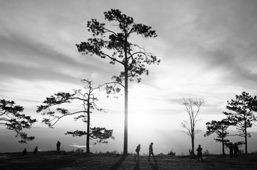 Beautiful sunrise with silhouette pine trees in black and white at Pha Nok An cliff in Phu Kradueng National park. Loei - Thailand