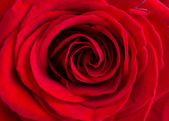 Close-up of red rose. Beautiful flowers backround. Top view.