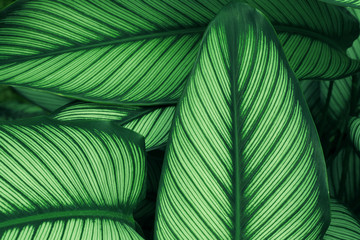 Close up of green leaf texture in tropical forest for background and desing art work eco nature concept style. Wall mural