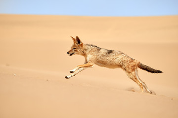 Isolated african Black Backed Jackal, Canis Mesomelas, hunting on  the sand dune. Low angle, african wildlife photography theme, traveling Dorob national park, Namibia.