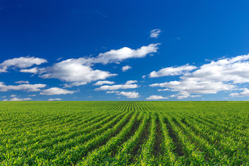Corn agricultural field and blue sky with sun at sunny day, maize growing
