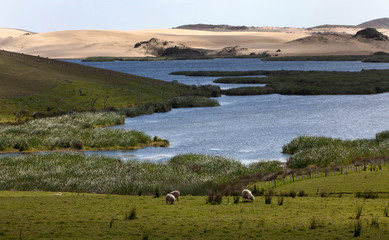 Garden Poster Sheep Te Paki. Lake and Giant sand dunes. Cape reinga New Zealand