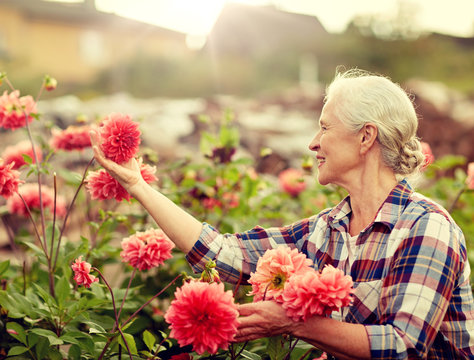 farming, gardening and people concept - happy senior woman with flowers blooming at summer garden