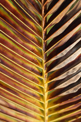 Abstract background texture of a tropical golden brown palm tree leaf scorched by the sun