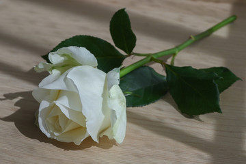 white rose put on wood table in the morning of love anniversary