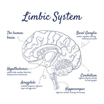 Doodle set of Limbic System – human brain, Basal Ganglia, Cerebellum, Hippocampus, Amygdala, Hypothalamus, hand-drawn. Vector sketch illustration isolated over white background.