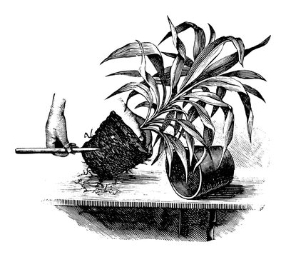 Antique vintage line art illustration, engraving or drawing of replanting or repoting of cordyline plant . From book Plants in Room, Prague, 1898.