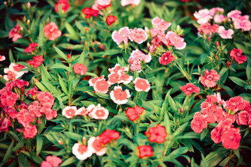Flower pattern nature with green leaf - white and red colorful dianthus chinensis flower background