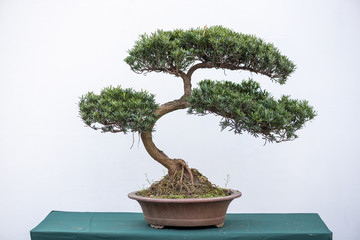 Curved bonsai pine tree against white wall in China