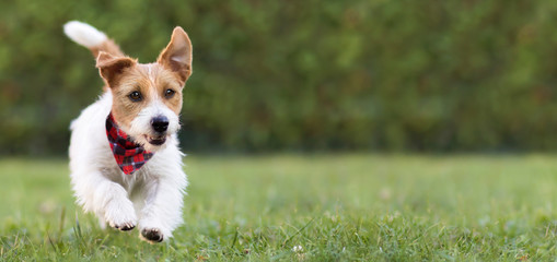 Pet obedience, training concept, funny happy dog puppy running in the green grass and listening with ears. Web banner with copy space.