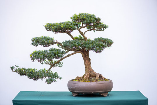 Bonsai pine tree against white wall in China