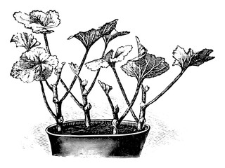 Antique vintage line art illustration, engraving or drawing of Pelargonium plant cuttings in flower pot, propagation and cloning . From book Plants in Room, Prague, 1898.