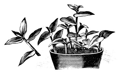 Antique vintage line art illustration, engraving or drawing of pot with Tradescantia cuttings, propagation and cloning . From book Plants in Room, Prague, 1898.