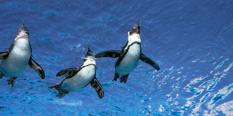 Foto auf AluDibond Pinguin Penguins swimming at Sunshine Aquarium in Tokyo 天空のペンギン サンシャイン水族館