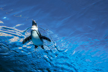 Low angle view of penguin swimming on blue water surface 空飛ぶペンギン サンシャイン水族館 東京