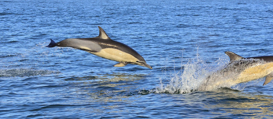 Dolphin, swimming in the ocean and hunting for fish. Dolphin swim and jumping from the water. The Long-beaked common dolphin (scientific name: Delphinus capensis) in atlantic ocean.