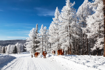 A herd of cows walking in the winter forest. Altai Republic, Russia