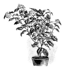 Antique vintage line art illustration, engraving or drawing of Blooming Camellia plant or flower in pot. From book Plants in Room, Prague, 1898.