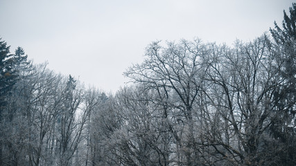 Background: moody nature, moody landscape-trees in winter on a foggy day