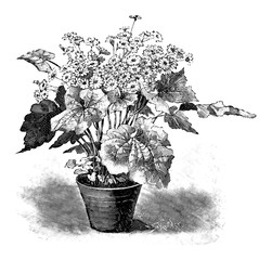 Antique vintage line art illustration, engraving or drawing of blooming Cineraria plant or flower in pot. From book Plants in Room, Prague, 1898.