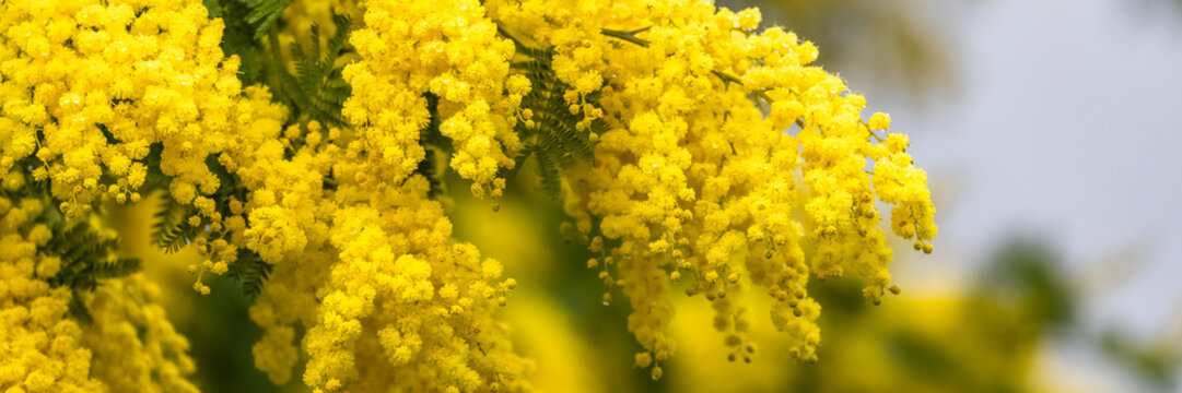 Yellow mimosa in spring, blossom flowers