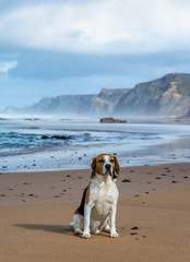 Cute portrait of a beagle dog sitting on the idyllic sandy beach near calm ocean. Soft sunset light, mist, rocks and cliffs. Picture full of calmness and relax. Pet is front posed, with copy space.