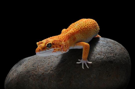 Gecko, Leopard Lizard Gecko, Leopard Gecko,