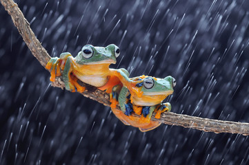 Fotobehang Kikker Frog, Frogs, flying frog, tree frog,