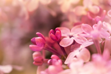 Wall Murals Lilac macro shot of tender pink lilac flowers, suitable for floral background