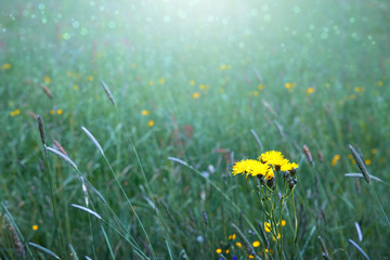 Background from green grass and yellow wildflowers.