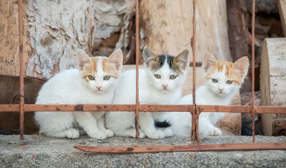 Three baby cats, bicolor with van pattern, sitting side by side behind an iron fence, North Aegean island, Greece