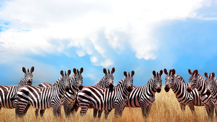 Wall Mural - Group of wild zebras in the African savannah against the beautiful blue sky with white clouds. Wildlife of Africa. Tanzania. Serengeti national park. African landscape.