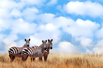Wall Mural - Group of wild zebras in the African savanna against the beautiful blue sky with white clouds. Wildlife of Africa. Tanzania. Serengeti national park. African landscape. Copy space.