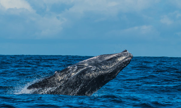 Baby humpback whale is breaching and jumping in front of Madagascards island Sainte Marie
