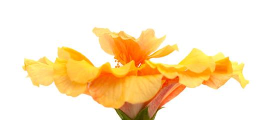 single yellow orange hibiscus on white  Fotobehang