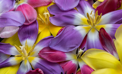 bright and vibrant wide open tulip blossoms, macro of a colorful bed of petals and blooms seen from the top,black background