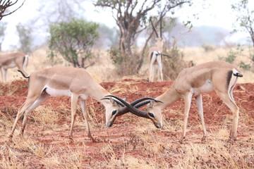 Wall Murals Antelope impala in serengeti national park tanzania africa