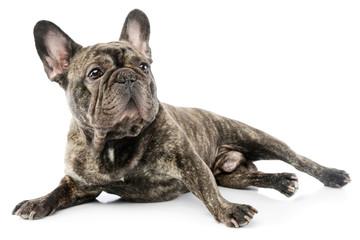 In de dag Franse bulldog Studio shot of a beautiful French Bulldog