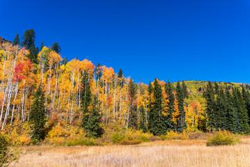 Autumn forest landscape with Aspen trees in Durango, Colorado