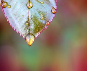 Rain drops close up on rose leaf isolated.