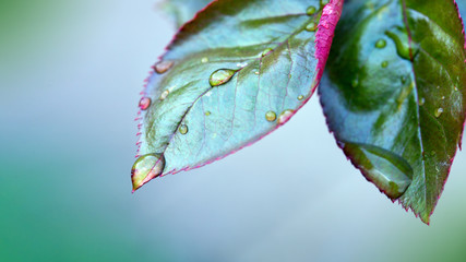 Raindrops close up on rose bush branch.