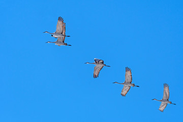 Small Group of Sandhill Cranes in Flight