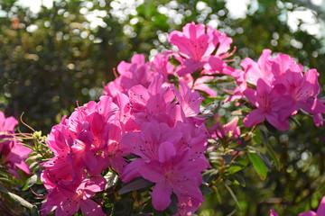 Pink azalea bush in greenhouse. Beautiful flowers. Season of flowering azaleas.