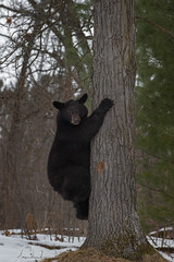 Fototapete - Black Bear (Ursus americanus) Looks Out From Side of Tree Winter