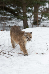 Deurstickers Puma Female Cougar (Puma concolor) Steps Forward in Snow Winter