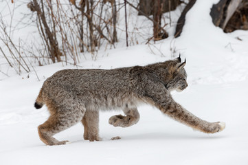 Fotomurales - Canadian Lynx (Lynx canadensis) Trots Right Through Snow Winter